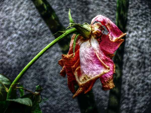 Dry-rose - Life and Love with HIV